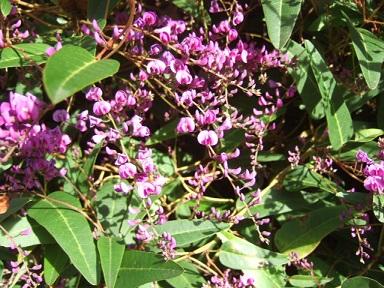 Hardenbergia violacea Dscf9317
