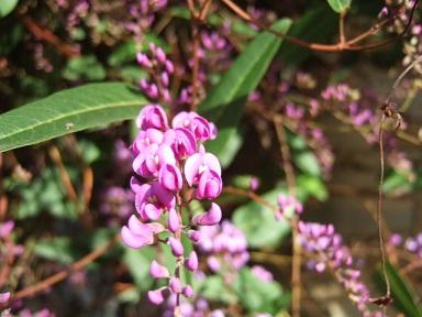 Hardenbergia violacea Dscf9318