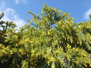 Acacia vestita - mimosa Sainte-Hélène Dscf9338