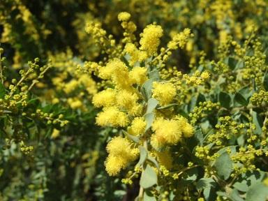 Acacia vestita - mimosa Sainte-Hélène Dscf9339