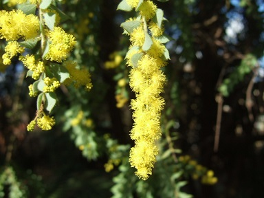 Acacia vestita - mimosa Sainte-Hélène Dscf9340