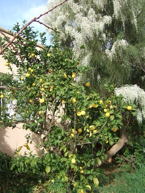 Citrus limon - citronnier des quatre saisons Dscf9410