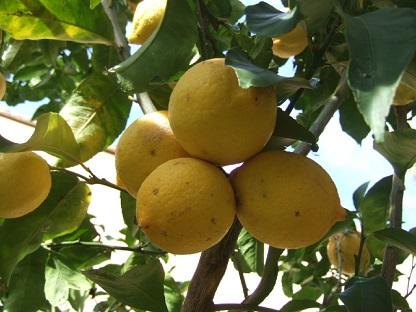 Citrus limon - citronnier des quatre saisons Dscf9411