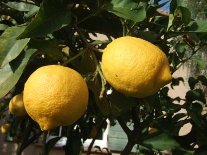 Citrus limon - citronnier des quatre saisons Dscf9412