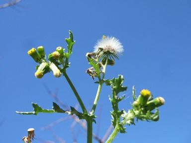 Senecio vulgaris - séneçon commun Dscf9425