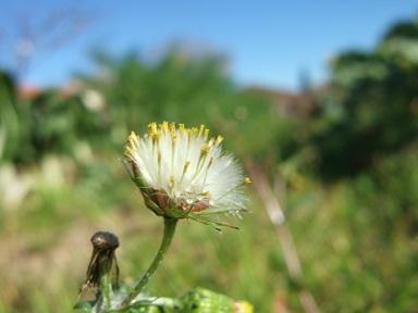 Senecio vulgaris - séneçon commun Dscf9426