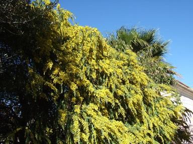 Acacia vestita - mimosa Sainte-Hélène Dscf9429