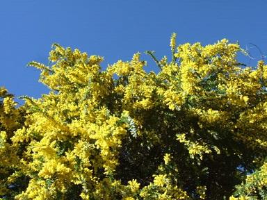Acacia vestita - mimosa Sainte-Hélène Dscf9430