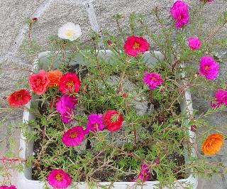 Portulaca grandiflora - pourpier à grandes fleurs  Pourpi10