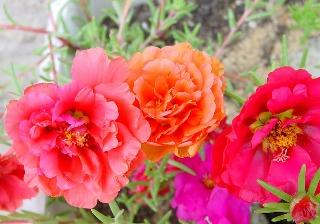 Portulaca grandiflora - pourpier à grandes fleurs  Pourpi11