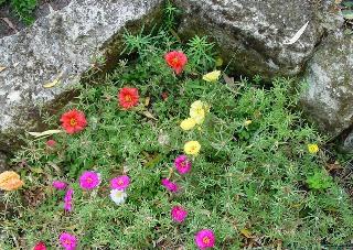 Portulaca grandiflora - pourpier à grandes fleurs  Rocail10