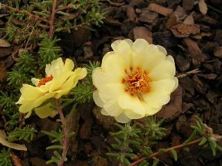 Portulaca grandiflora - pourpier à grandes fleurs  Vac_ar10