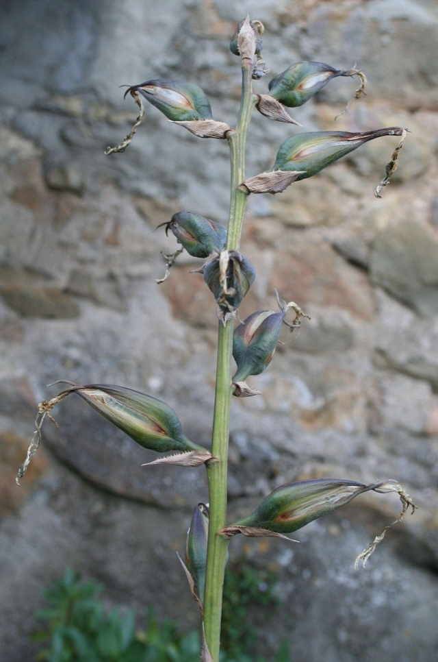 Puya mirabilis - Page 2 Img_0310