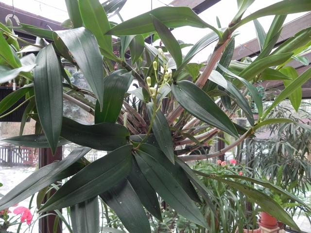 Dendrobium delicatum? D_deli14