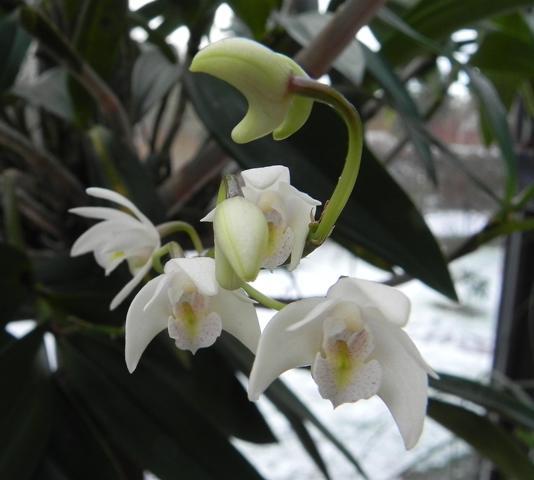 Dendrobium delicatum? D_deli15