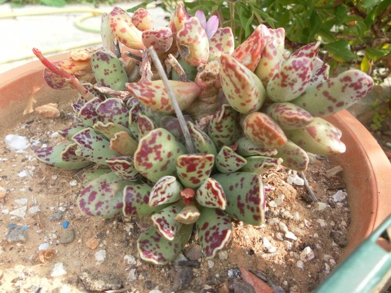 les plantes de syljou Adromi10