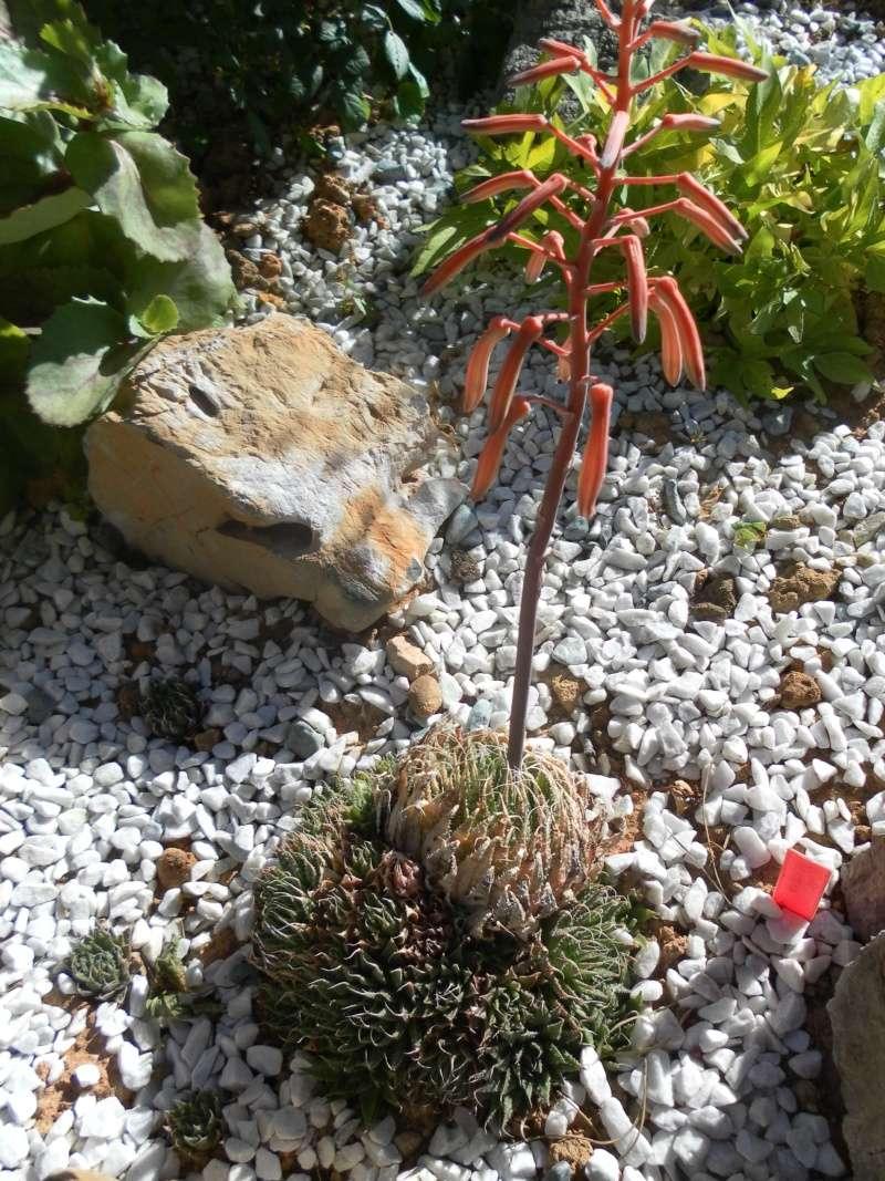 les plantes de syljou Aloy_a10