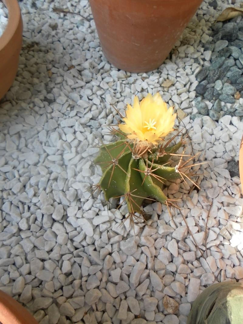 les plantes de syljou Astrop10