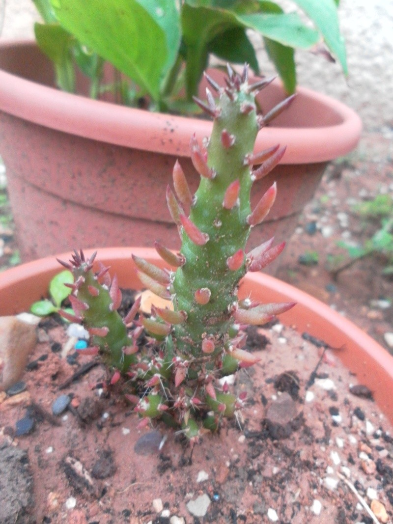 les plantes de syljou Austro10