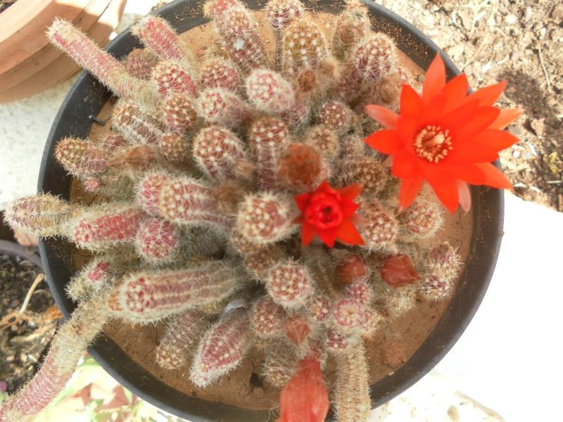 les plantes de syljou Chamae10