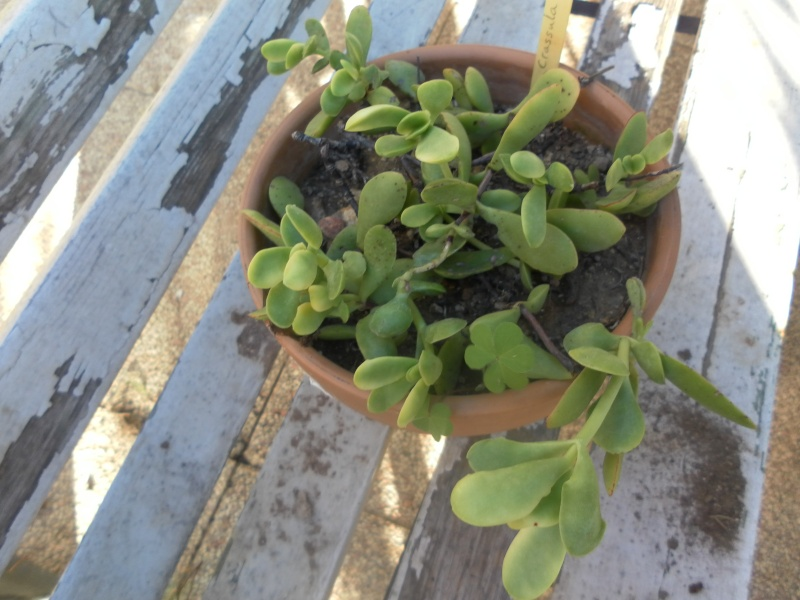 les plantes de syljou Crassu11