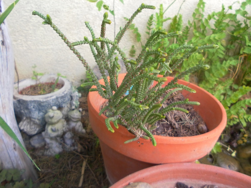 les plantes de syljou Crassu14