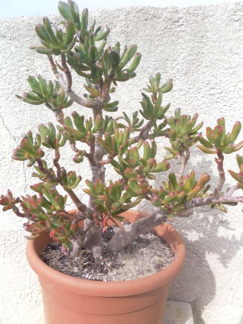 les plantes de syljou Crassu17