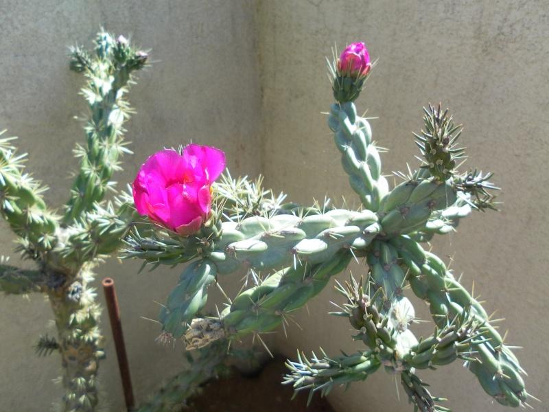 les plantes de syljou Cylind10