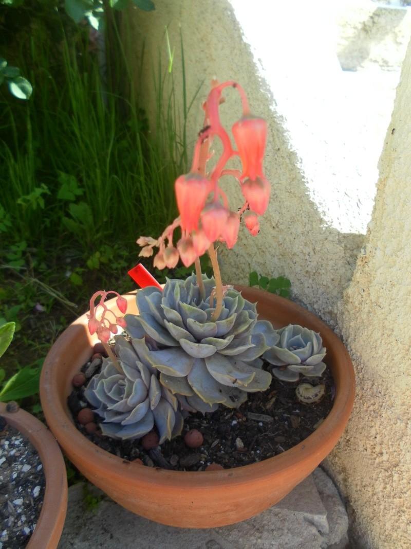 les plantes de syljou Echeve14