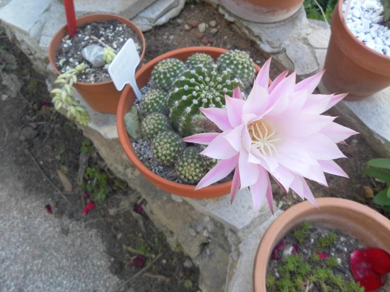 les plantes de syljou Echino11