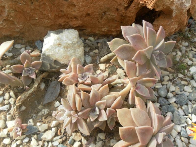 les plantes de syljou Grapto11