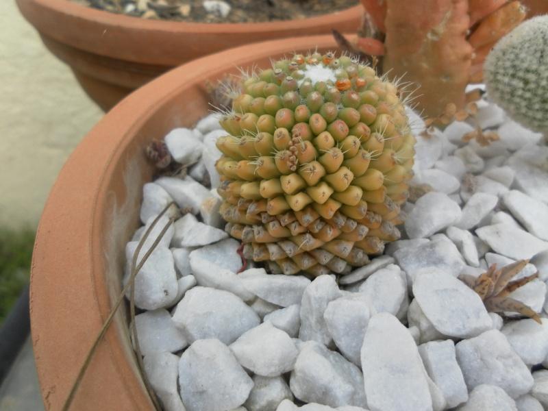 les plantes de syljou Mammil12