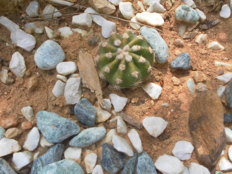 les plantes de syljou Parodi11