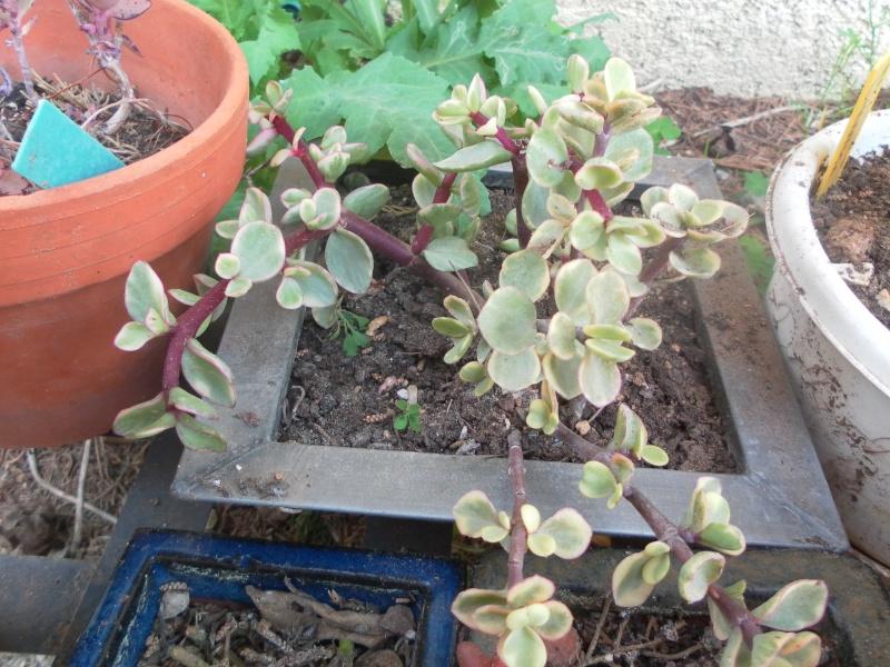les plantes de syljou Portul11