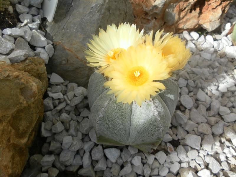 les plantes de syljou Sam_2310