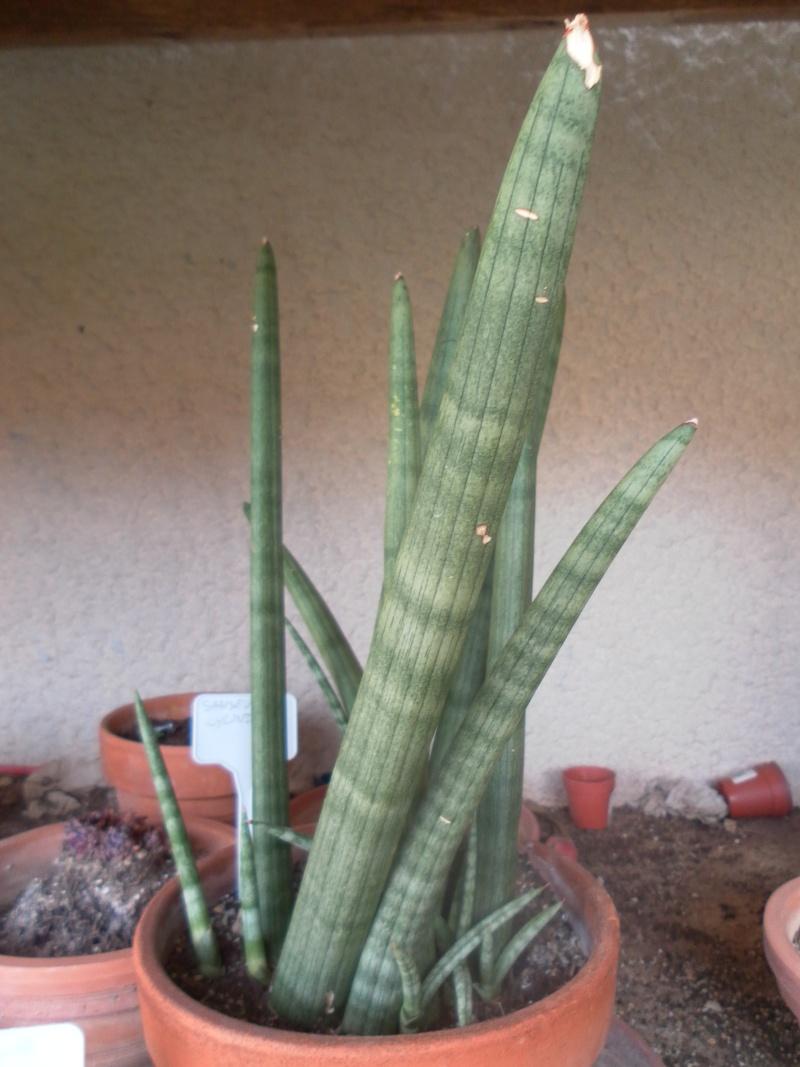les plantes de syljou Sansev10