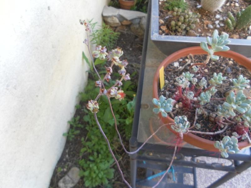 les plantes de syljou - Page 2 Sedum_11
