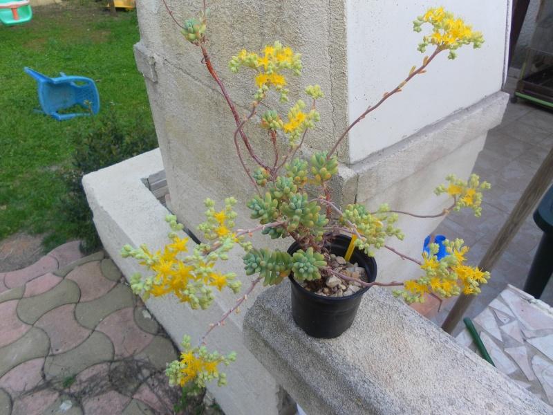 les plantes de syljou Sedum_13