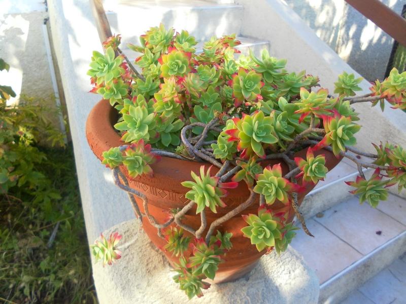 les plantes de syljou Sedum_14