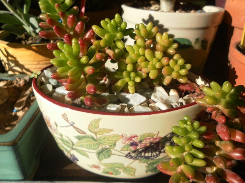 les plantes de syljou Sedum_16