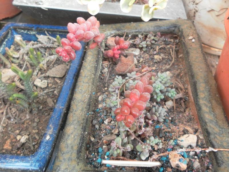 les plantes de syljou Sedum_17