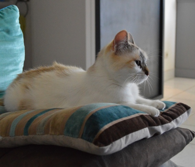 JEZABELLE, chatte blanche et beige, née en 2014 Dsc_0012
