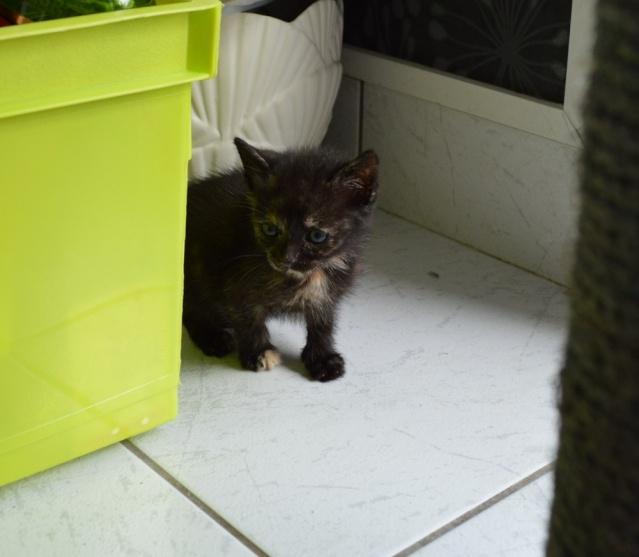 LULU, chatonne écaille de tortue, née vers le 15/09/15 Dsc_0030