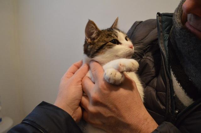 lucious - Lucious, jeune chat mâle de type européen, tabby fauve et blanc, né en Juillet 2015 Dsc_0072
