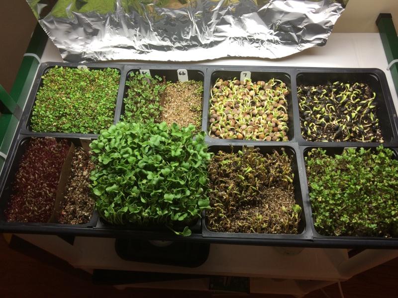 microgreens - Microgreens Gardening - Page 6 Microg16