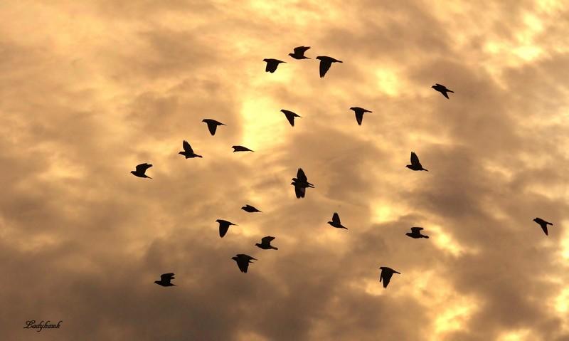 pigeons volent Img_2511