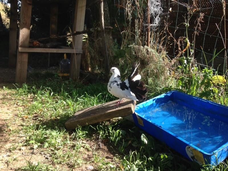 Mes pigeons paon fantail Img_1810