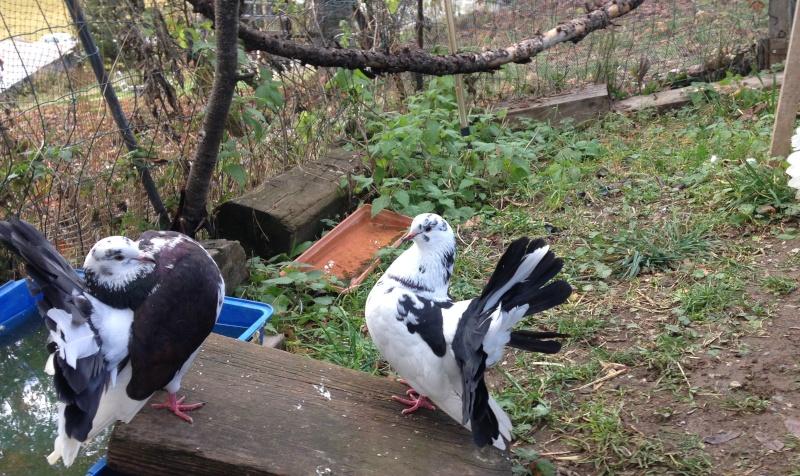 Mes pigeons paon fantail Img_1912