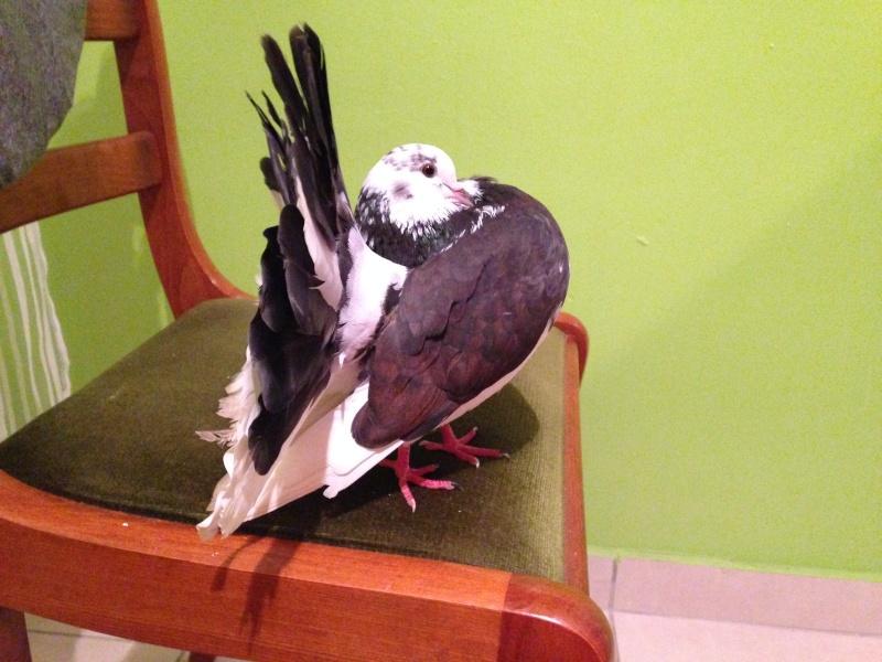 Mes pigeons paon fantail Img_2215