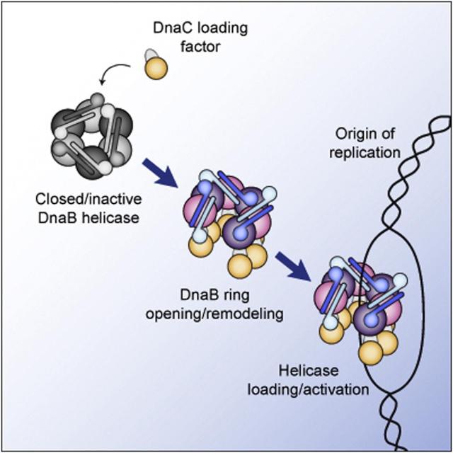 DNA replication of prokaryotes 011